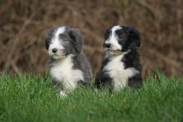 deux chiots bearded collie assis dans l'herbe