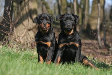 Deux Rottweiler sagements assis en lisière de forêt