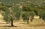 Olivenhain - olive grove 07 poster