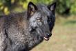 Fototapeta Zwierzę - Wilk - Dziki Ssak