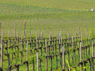 Landscape of an italian large vineyard