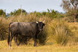 Toro in Camargue