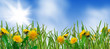 obraz - dandelions and gra...
