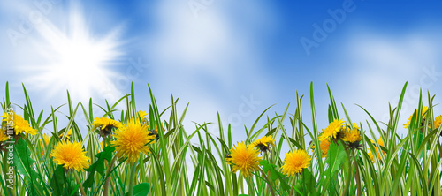 dandelions and grass - spring meadow