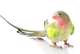 Princess of Wales Parakeet poster