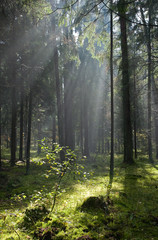 Coniferous forest in Landscape Reserve of Bialowieza Forest
