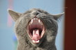 Katzenmaul