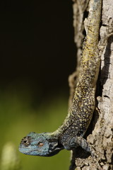 Blueheaded lizard