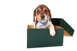 Beagle puppy in a box poster