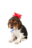 Beagle puppy with a bow on her head poster