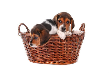 Beagle puppies  in a basket