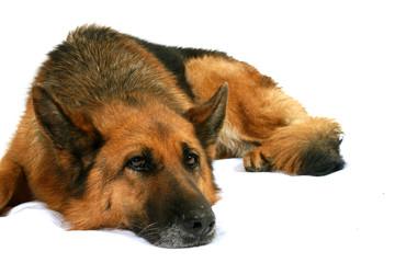 chien berger allemand allongé