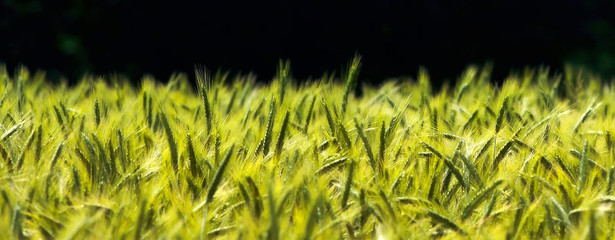 A photo of young wheat a sunny summer day