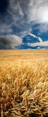 A photo of a field of wheat early summer