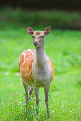 Telephoto of white-tail deer  (very sharp and detailed, 1DsMKII)