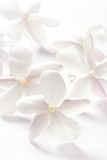 Fototapety jasmine flowers over white background