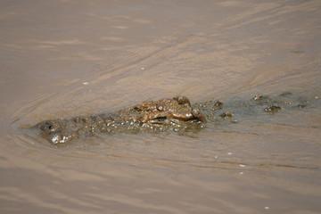 Nile crocodile (Crocodylus niloticus), Masai Mara