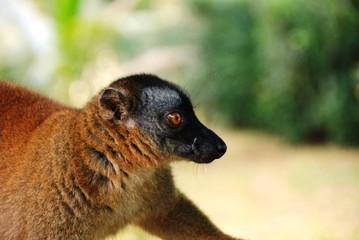 Maki à Mayotte
