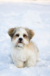 Lhasa apso puppy in the snow