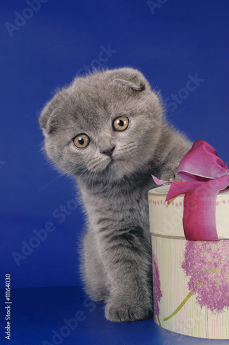 Scottish kitten with toy