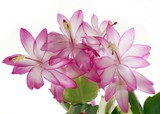 pretty flowers of succulent called december poster