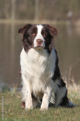 Border collie assis de face