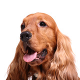 english cocker spaniel isolated over white background poster