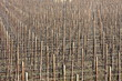 vigne invernali