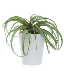Tillandsia hybrid (Concolor and Streptophylla) in a ceramic pot