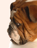 red brindle english bulldog face resting on paw poster