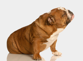 english bulldog sitting with cute expression