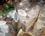 Butterfly weed pods and seeds
