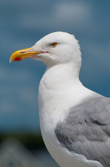 A close up portrait of a Seagull perched on a rock