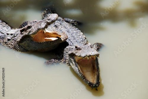 Foto op Plexiglas Krokodil Zwei Krokodile haben Hunger