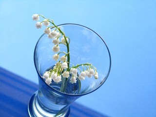 lily of the valley over blue background