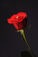 Ring in a red rose wrom black background