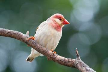 Red-billed Quelea perched on branch