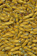 Dry corn in cage storage