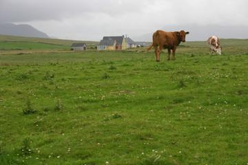 Connemarra - Vaches dans la brume