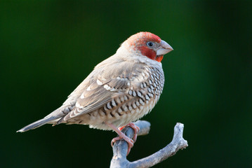 Red-headed Finch adult male perched on branch
