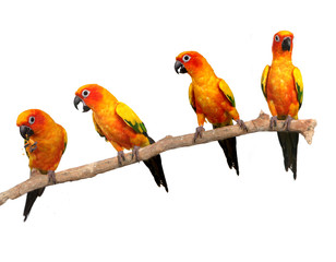 Happy Sun Conure Parrots on a Perch on White Background