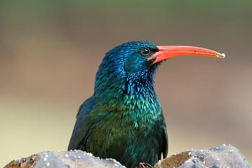 Green Red-Billed Wood Hoopoe close-up of head/beak