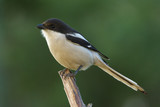 Shrike Common Fiscal adult male