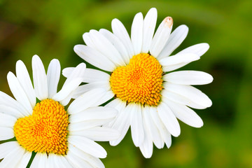Daisies with heart