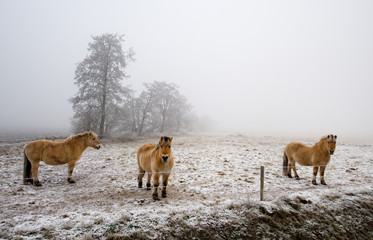 horses on a cold winter day