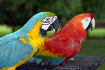 Amazonian parrot couple in eco-turism resort