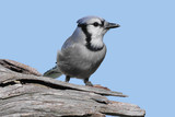 Blue Jay On A Stump poster