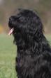 Portrait de profil d'un gentil Briard