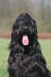 Beau portrait d'un gentil chien nounours noir