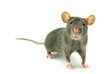 canvas print picture - rat